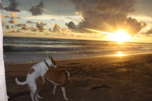 Dogs Hump in the Sunset